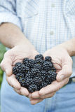 Close Up Of Man Holding Freshly Picked Blackberries. Man Holding Freshly Picked Blackberries Stock Images