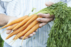 Close Up Of Man Holding Freshly Picked Carrots Stock Photography