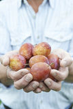 Close Up Of Man Holding Freshly Picked Plums Royalty Free Stock Photography
