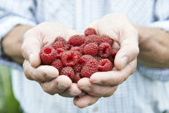 Close Up Of Man Holding Freshly Picked Raspberries Stock Images