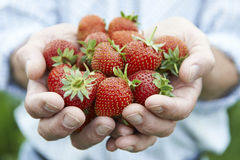 Close Up Of Man Holding Freshly Picked Strawberries Stock Photos