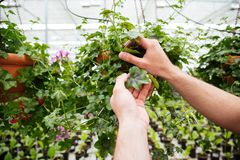 Close up of man holding green plant. While working in greenhouse Stock Images