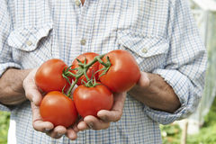 Close Up Of Man Holding Home Grown Tomatoes Stock Photography