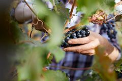 Close-up of man picking grapes with scissors. At harvesting in a vineyard Royalty Free Stock Photo