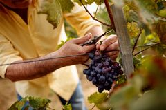 Close-up man picking red wine grapes on vine. In vineyard Royalty Free Stock Image
