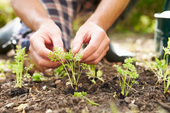 Close Up Of Man Planting Seedlings In Ground On Allotment. Outdoors royalty free stock images