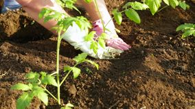 Planting tomatoes. Close-up. Man puts tomatoes in the soil