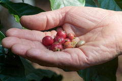 Close up of man`s hand that contains coffee beans Stock Photos