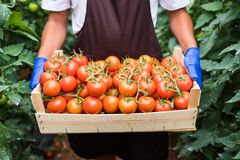 Close up of man s hands holding a big box of tomato harvest in the greenhouse royalty free stock image
