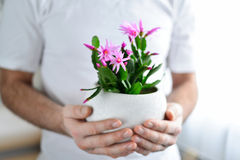 Close up of man's hands holding flower in pot Stock Image