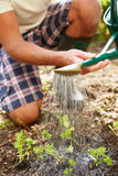Close Up Of Man Watering Seedlings In Ground On Allotment Royalty Free Stock Photos