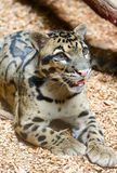 Close up manchado do leopardo Foto de Stock
