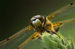Close up manchado quatro da libélula do caçador Foto de Stock