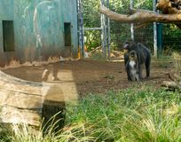 Close up of a Mandrill Baboon family mother and her kid stand stock photography