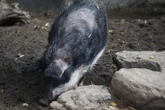 Mangalica pig, Sus scrofa domesticus. Close up Mangalica pig on field Royalty Free Stock Image
