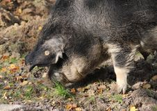 Mangalica pig, Sus scrofa domesticus. Close up Mangalica pig on field Royalty Free Stock Photography