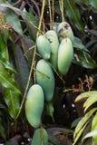 Close up of mangoes. Royalty Free Stock Photo