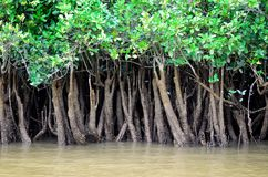 Close up of mangroves on river Royalty Free Stock Image