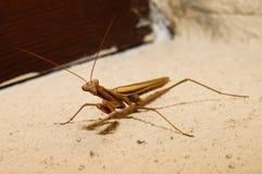 Close up of a mantis Royalty Free Stock Image