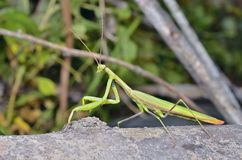 Mantis 6. A close up of the mantis, profile Royalty Free Stock Photos