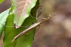 Close up of mantodea Stock Photography