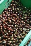 Close up many chestnut Stock Image