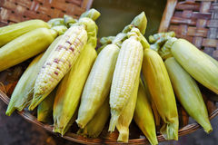 Close up many corn steam Stock Images