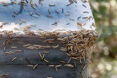 Close-up of many Ermine moths larvae together on a trash can outdoors. royalty free stock photos