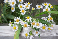 Close Up Many-Flowered White Aster Wildflowers. Bunch of white many-flowered aster flowers wildflowers growing through wooden fence in Ontario, Canada. Also Royalty Free Stock Photos
