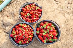 Close Up Fresh Red Strawberries in the Black Plastic Bucket. Stock Photo