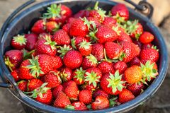 Close Up Fresh Red Strawberries in the Black Plastic Bucket. Stock Image