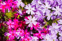 Close-up many pink and lilac awl phlox on sunny day. Spring blooming background royalty free stock image