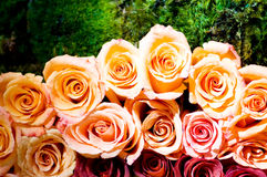 Close up of the many  roses Stock Image