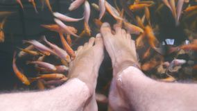 Close up of many tropical fishes eating dead skin and cleaning male legs in an aquarium. Feet of young man in water with. Small garra rufa. Exotic spa treatment stock video footage