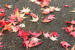Close up of many yellow red dead tree leaves lying on wet floor street on a rainy day Royalty Free Stock Image