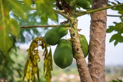 Close Up of many young coconuts on palm tree. Green coconut on tree asian tropical fruit stock photo