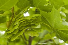 Close-up of maple Royalty Free Stock Photo
