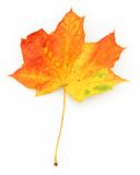 Close-up of maple leaf. On white background, gentle natural shadow under it Stock Photos
