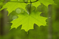 Close up of Maple leaf Royalty Free Stock Photography