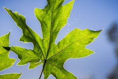 Close up of maple leaf on a blue sky background. San Francisco bay area, California Royalty Free Stock Photos