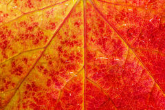 Close up of a maple leaf Stock Image