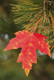 Close up of maple leaf Stock Photo
