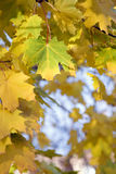 Close-up of maple leafs. Autumn: close-up of maple leafs Royalty Free Stock Images