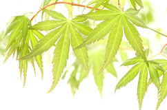 Close up of maple leaves Stock Image