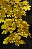 Close up of maple leaves Royalty Free Stock Photos