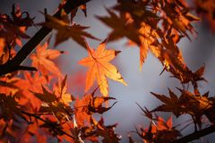 Close-up of Maple Leaves Stock Image