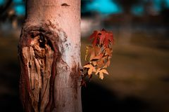 Close-Up of Maple Tree royalty free stock image