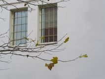 Close up maple tree branch with only few yellow leaves left on b. Ackground white wall with two window with bars concept of lack of freedom oppression or prison Royalty Free Stock Images