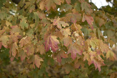 Close up of a maple tree getting ready for autumn. A maple tree getting ready for autumn and its leaves are changing colors from green to yellow to red Royalty Free Stock Images