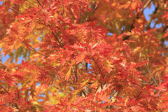 Close up of maple tree Royalty Free Stock Photography